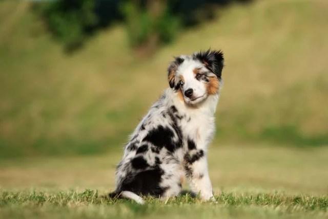 Miniature American Shepherd is among the true American dog breeds