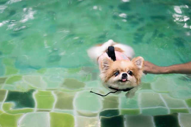 Pomeranian dogs are some of the worst swimmers