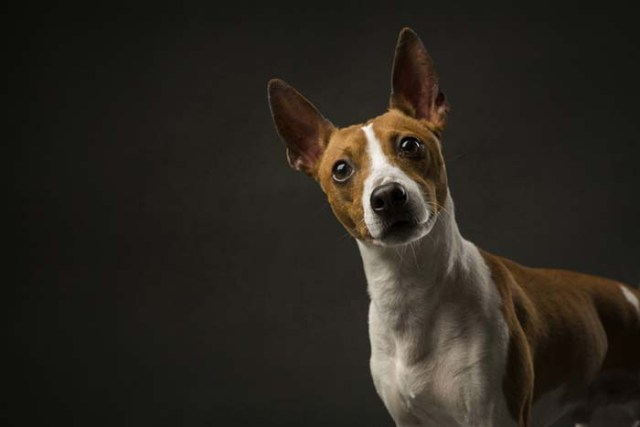 Rat Terrier is among the true American dog breeds