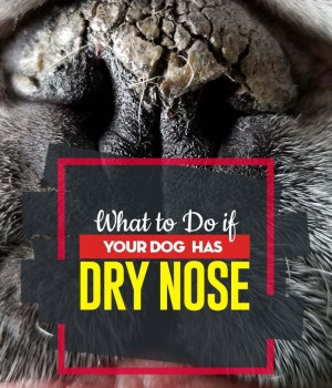 Tips on What to Do If Your Dog Has Dry Nose