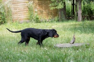4-6 months old puppy hunting training