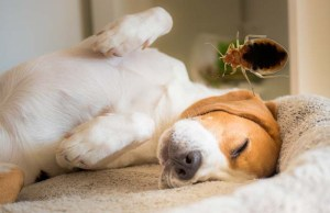 Can Bed Bugs Travel on Dogs