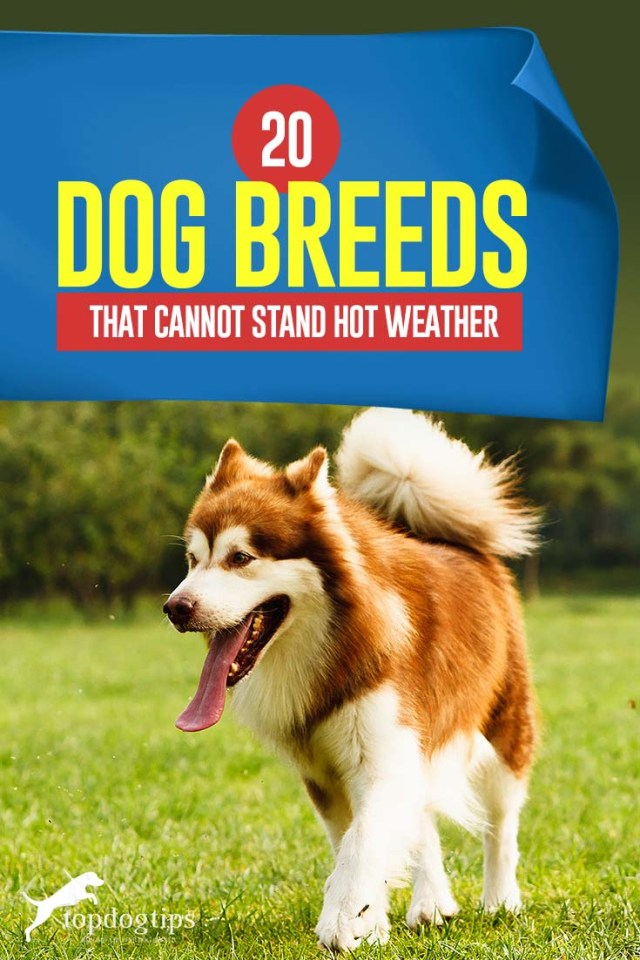 The 20 Dog Breeds That Don't Do Well in Hot Weather