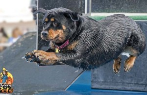 The Competitive Dog Sport of Dock Diving