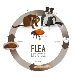 The Lifecycle of a Flea
