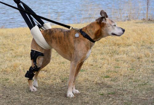 Cranial Cruciate Ligament (CCL) Injuries in dogs