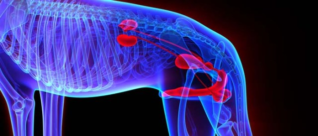 How to Prevent Prostate Problems in Dogs