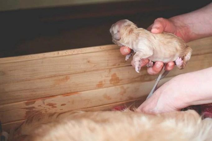 8 Potential Dog Labor Complications
