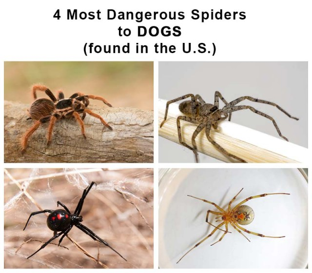 Most Dangerous Spiders to Dogs (in the USA)
