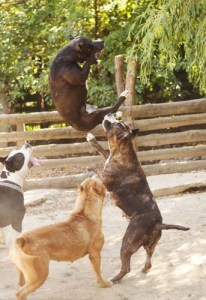 What Is Dog Fighting