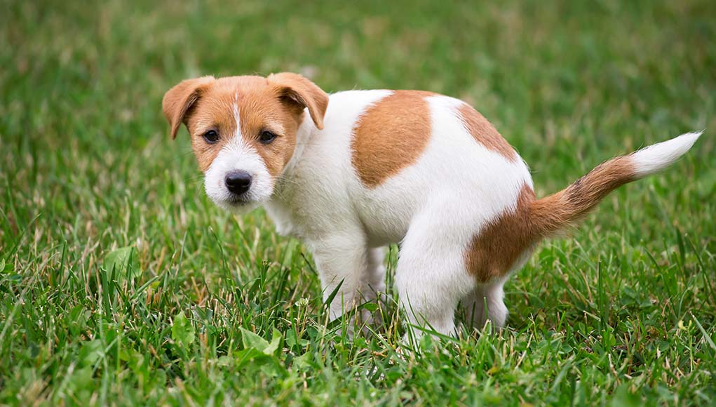 Dog Has Hard Poop - 6 Reasons Why and How to Fix This Problem Quickly