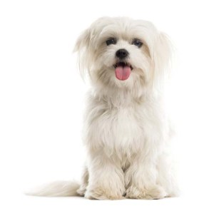 Dogs with Straight, Flowing Hair