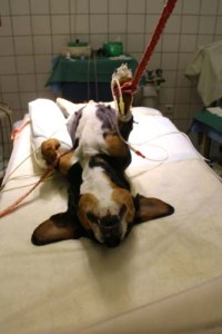 Treatments for Pyometra in Dogs