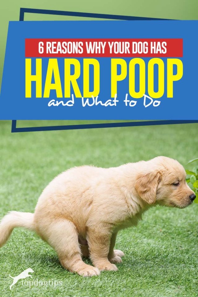What to Do When Dog Has Hard Poop