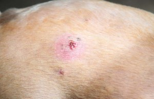 Bumps on a Dogs Back - 7 Things It Could Be and What To Do