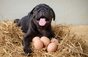 Can Dogs Eat Hard Boiled Eggs