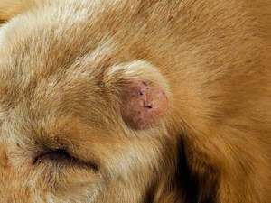 What tumor in dogs looks like