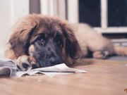 Are Pee Pads Right for Your Dog