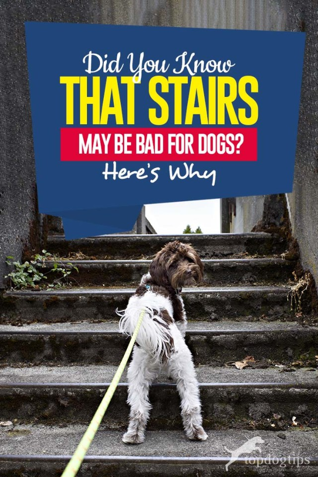 Are Stairs Bad for Dogs and Why