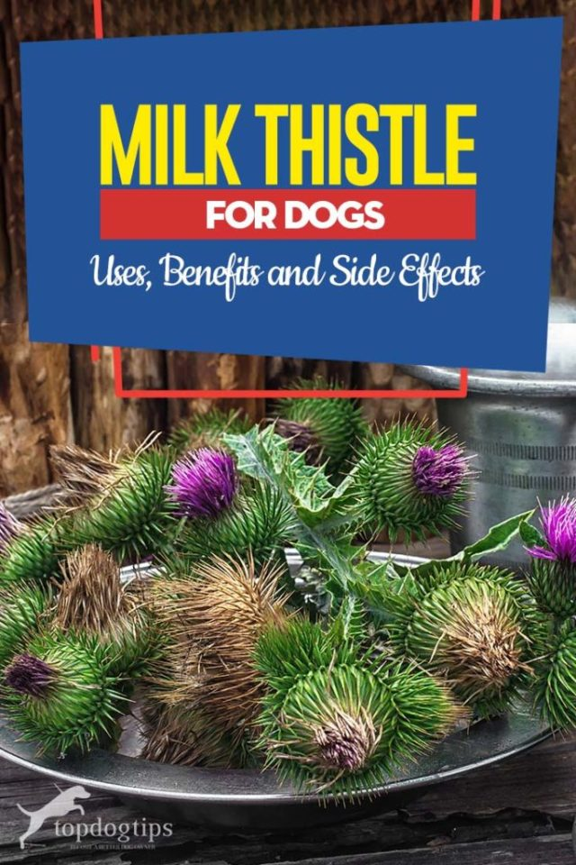 Milk Thistle for Dogs - Its Uses, Benefits and Side Effects