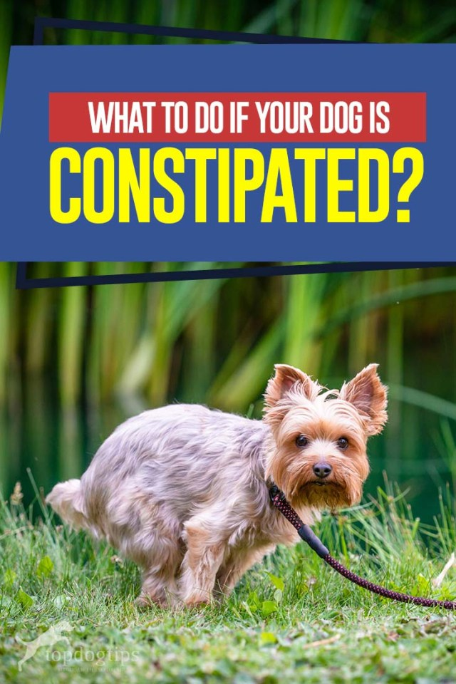 Tips on What to Do If Your Dog Is Constipated