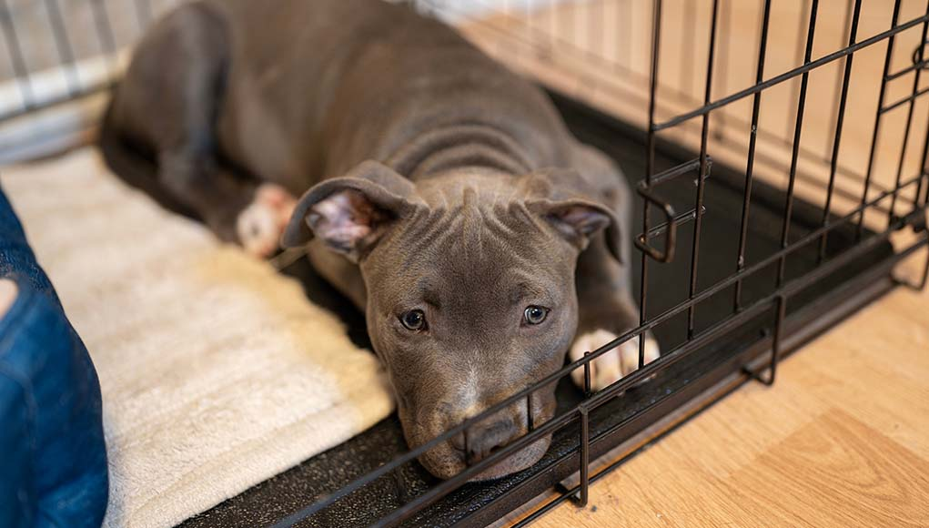 Dog Whining In Crate - 5 Reasons Why and What to Do