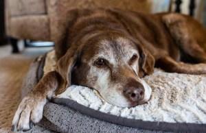 Shortest Lifespan Dog Breeds (Based on Science)