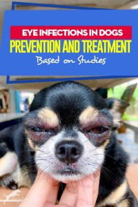 Guide on Eye Infections in Dogs - Prevention and Treatment (Based on Studies)