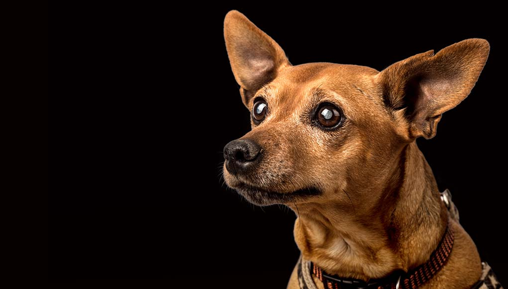 Lenticular Sclerosis in Dogs - Causes, Symptoms, Treatments