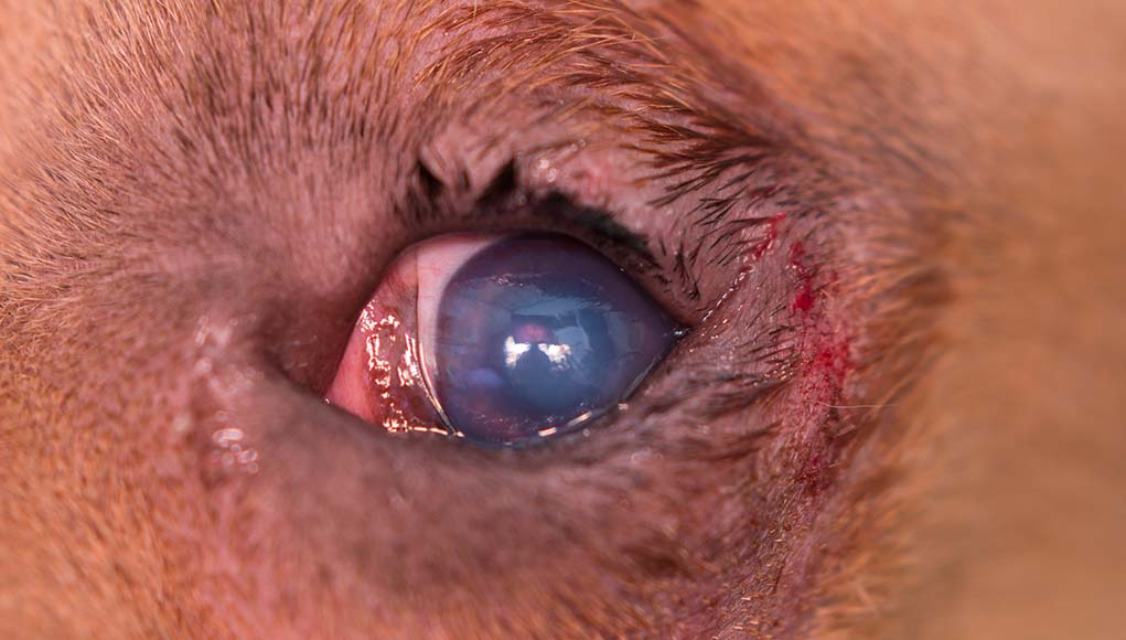 Entropion in Dogs - Causes Symptoms Treatments