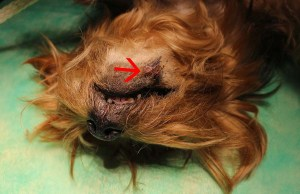 Squamous Cell Carcinoma in Dogs