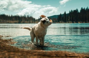 Water in Dog's Ear - Dangers, How to Prevent It and What to Do About It