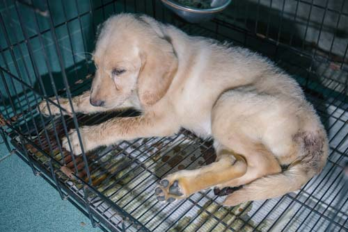 Inflammatory Bowel Disease in dogs (IBD)