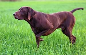 9 Popular Brown Dog Breeds