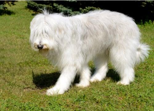 ukrainian shepherd dog walking in park
