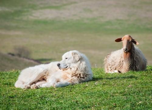maremma sheepdog laying next to sheep