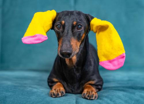 dachshund with socks on ears