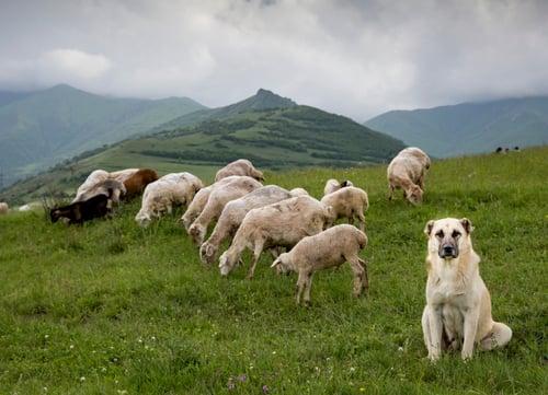 anatolian shepherd watching sheep