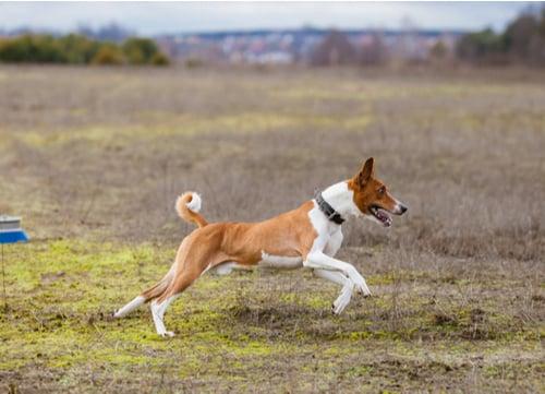 Basenji healthy dog breeds