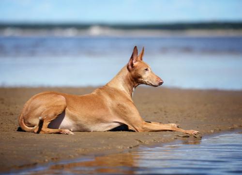 pharaoh hound egyptian dog breed