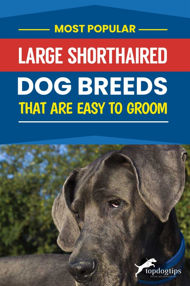 Most Popular Large Shorthaired Dog Breeds That Are Easy to Groom