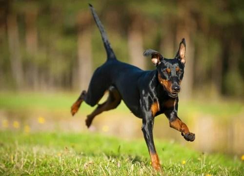 healthiest dog breeds german pinscher