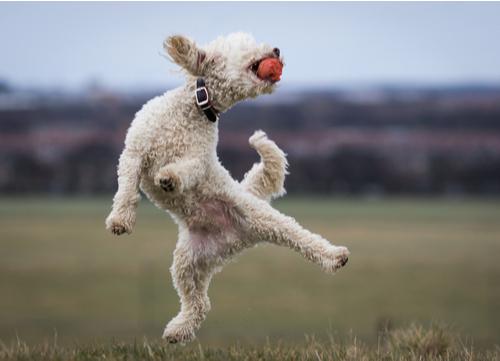 healthiest dog breeds poodle