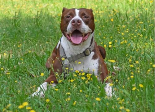 happy pit bull dangerous dog breeds