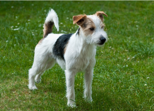 best hunting dogs Jack Russell Terrier