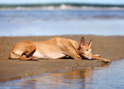 pharoah hound healthiest small and medium dog breeds