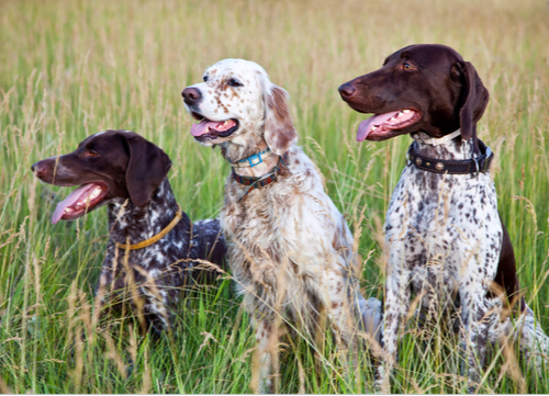 Short Haired Dog Breed Easy to Groom German Short Haired Pointer