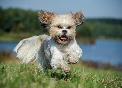 healthiest dog breeds Shih Tzu