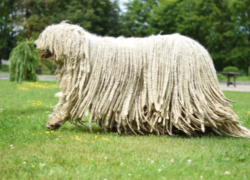 Hungarian Dog Breeds Komodor