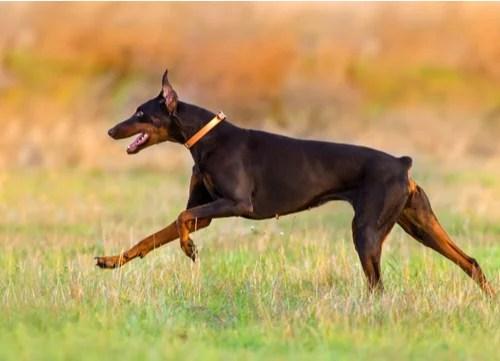 Top K9 Dog Breeds doberman pinscher